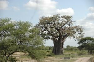 Baobab-Baum.