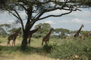 Giraffen im Tarangire