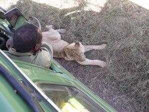 Löwenmännchen auf Schattensuche