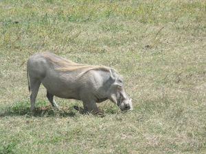 Iggy Warzenschwein